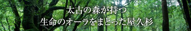 太古の森が持つ生命のオーラをまとった屋久杉